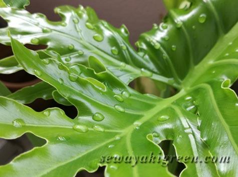 セロームの葉