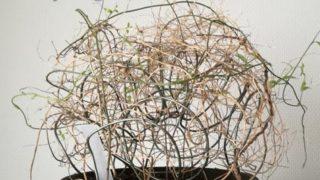 この時季、枯れた!と捨てられるアスパラガス スマイラックスがどれほどあるだろうか