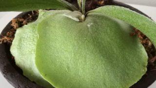 ビカクシダの子株、気付けば貯水葉が育っています