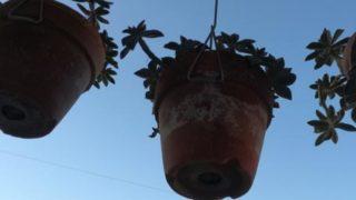 植替えして、吊るされている秋麗が頑張っている姿