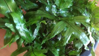 酷暑を超えても葉色はピカピカ。ミクロソリウムの今