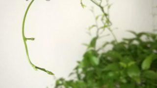 11月のアスパラガス スマイラックス、葉が生い茂ってます