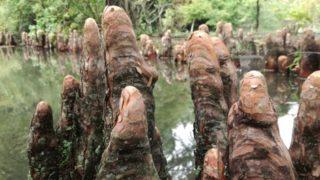 ご近所の不思議な光景、ラクウショウの根でした