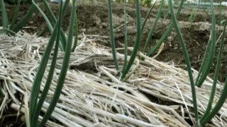 この冬、ほうれん草の収穫が悪かった理由(わけ)