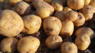 ジャガイモの収穫、掘りかたも上達しました