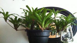【ネオレゲリア】私的にオススメの植物です