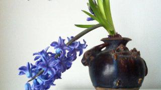 ヒヤシンスの水栽培【最終章】二番花を楽しむ