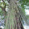 南米は、かくも観葉植物の宝庫だった!