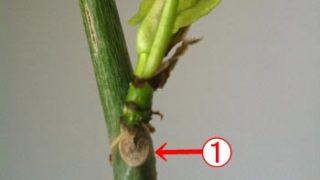 ウンベラータが芽を出して、生きようとしているのです