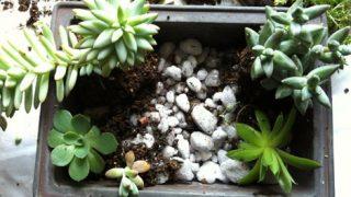 盆栽鉢に植えた多肉植物たち
