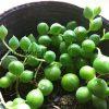 撮影することでわかる、植物の成長と変化【グリーンネックレス】編
