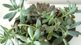 多肉植物【秋麗】、寄せ植えで鉢数を減らす作戦【1】