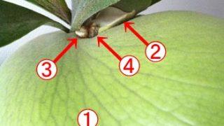 ビカクシダ ビフルカツムの貯水葉が進化しています