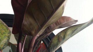 久々に購入した【観葉植物】は、フィロデンドロン インペリアルレッド