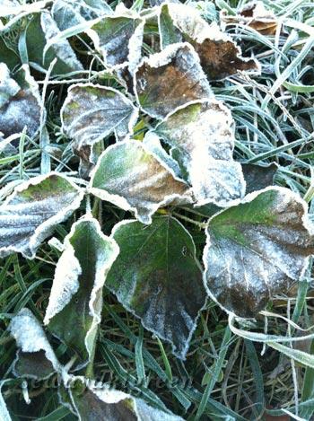 霜が降りた落ち葉
