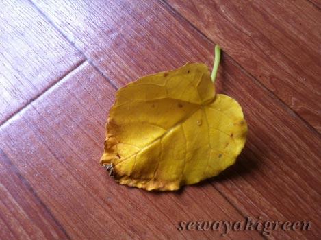 ウンベラータの葉