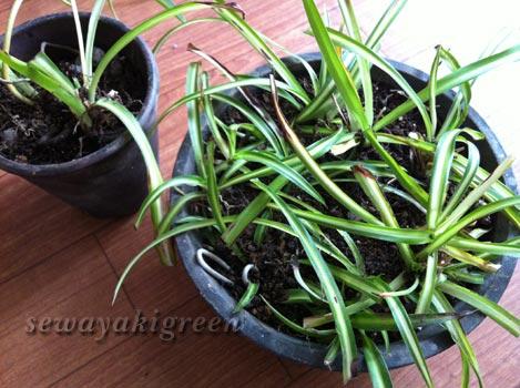 オリヅルランの植え替え