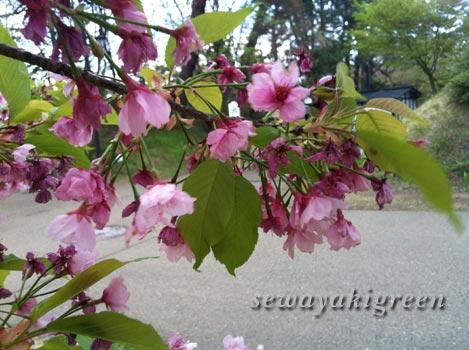 大寒桜(おおかんざくら)