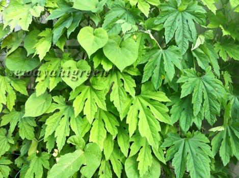 緑のカーテン(ゴーヤ)