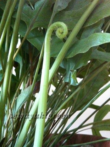 フレボディウム ブルースターの芽