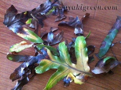 枯れた葉をカット