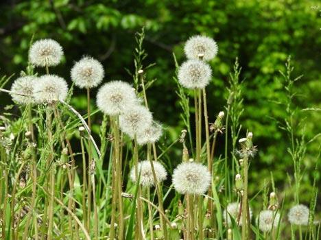 タンポポの種子