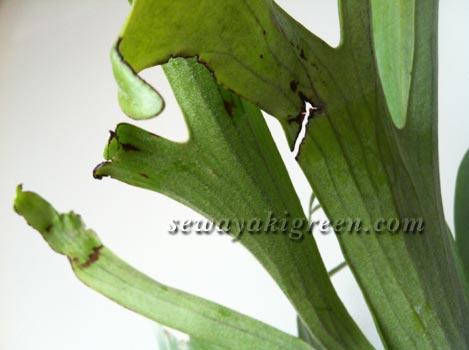 ビカクシダ ビフルカツムの胞子葉