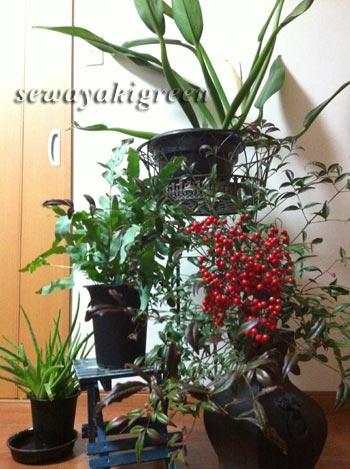 部屋に取り込んでいる植物たち