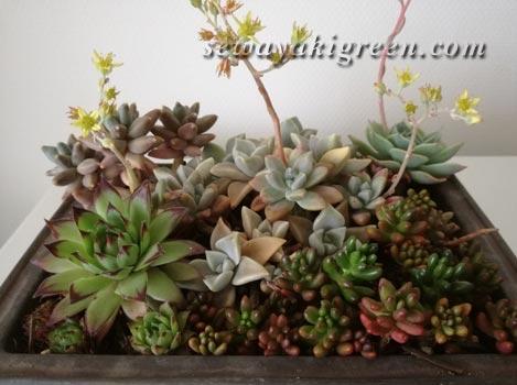 盆栽鉢に寄せ植え