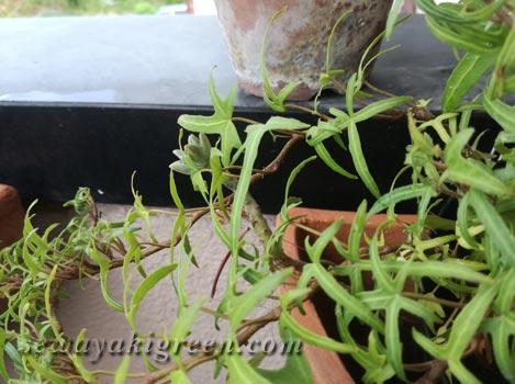 アイビーの葉影で育つ植物