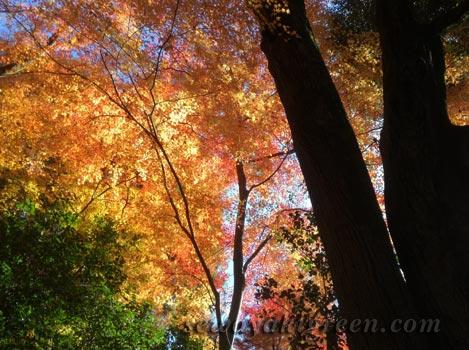 犬山市、寂光院の紅葉