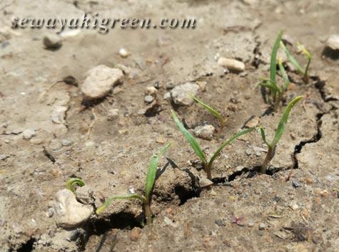 ほうれん草の芽