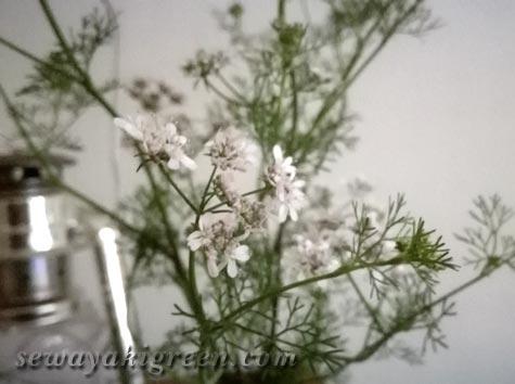 パクチーの花