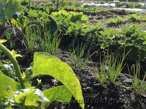 畑で野菜づくり