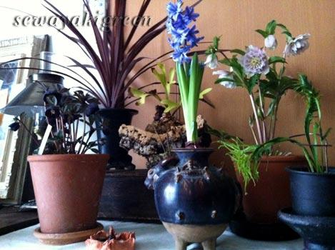 ヒヤシンスの水栽培