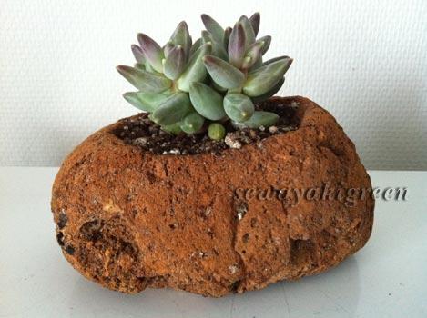 軽石鉢と多肉植物
