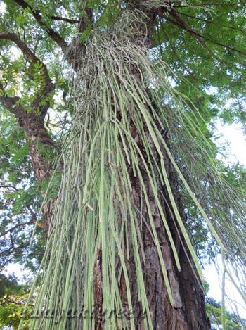 街路樹に着生するリプサリス