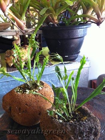 軽石の鉢に植えたノキシノブ