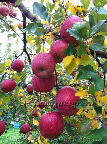 松川のりんご